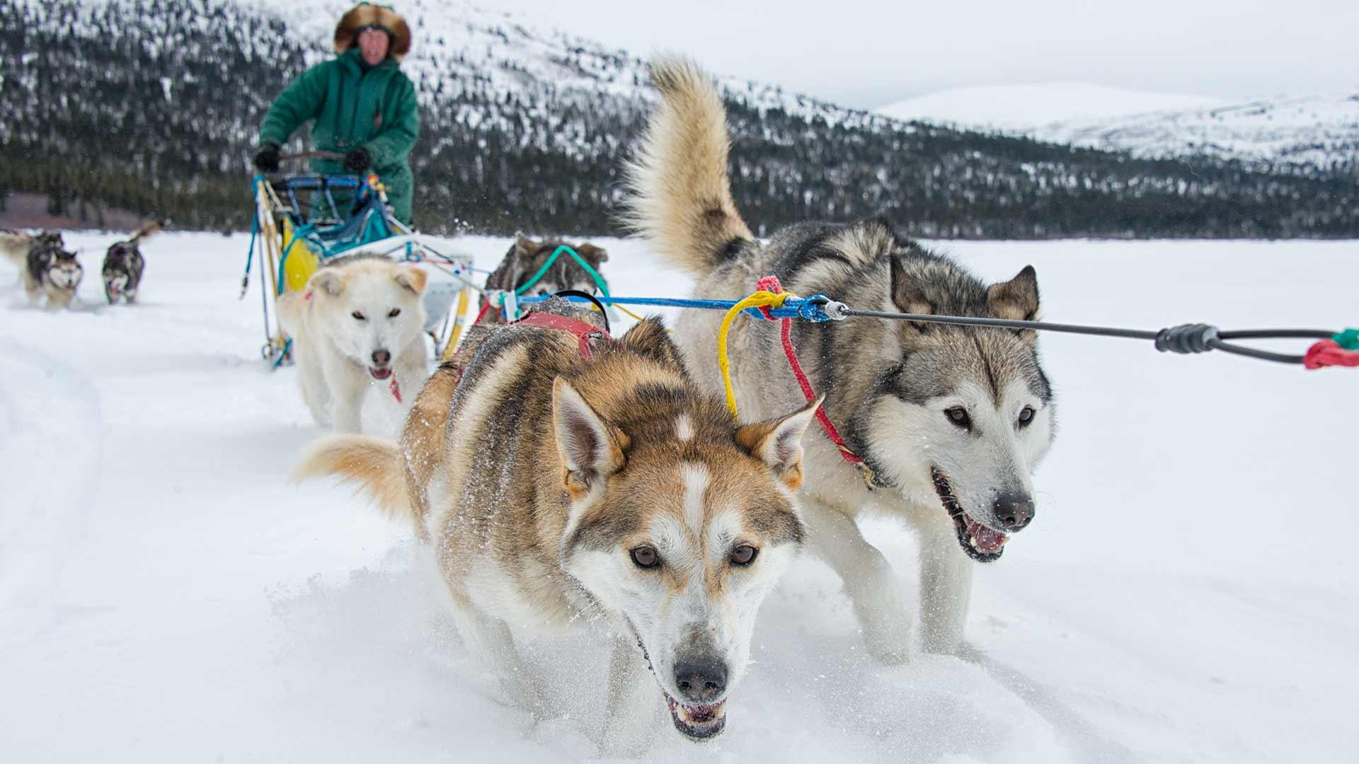 Things To Do Dogsledding Travel Yukon Yukon Canada